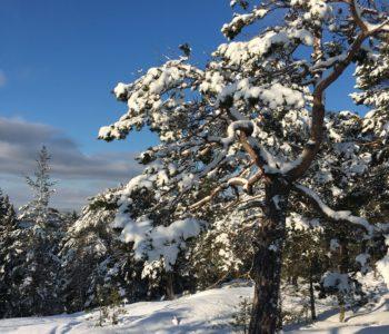 Furu skog snø vinter